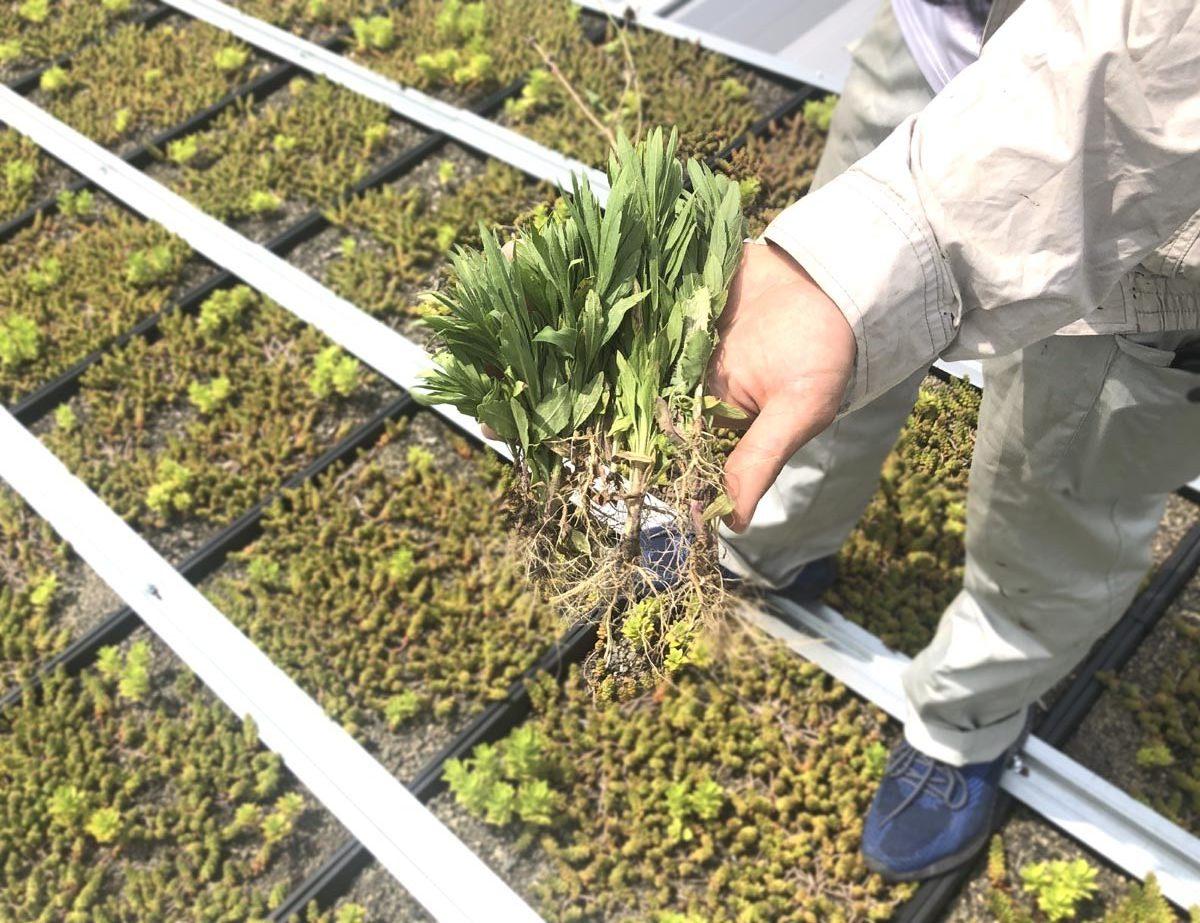 雑草は一握り程度。植栽も順調に生育していました。